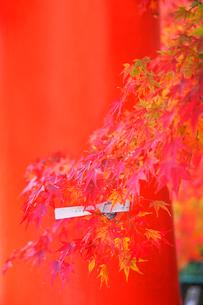 紅葉に結んだおみくじの写真素材 [FYI03245264]