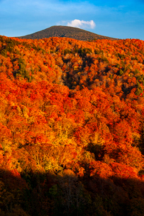 西吾妻スカイバレーより西吾妻山紅葉のブナ林の写真素材 [FYI03245554]