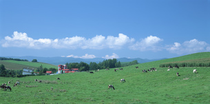 牧場の牛の写真素材 [FYI03246649]