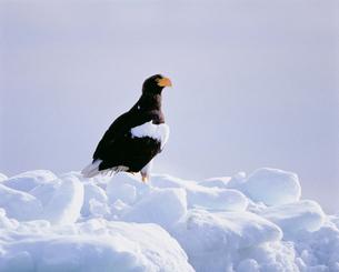 流氷上のオオワシの写真素材 [FYI03246667]