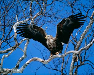 木に止まるオジロワシの写真素材 [FYI03246669]