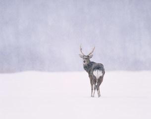 雪降りのエゾシカの写真素材 [FYI03246686]