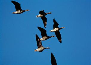 青空に飛ぶマガン 宮島沼の写真素材 [FYI03246730]