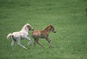 走る子馬 ドサンコの写真素材 [FYI03246750]