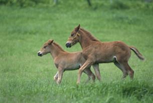走る子馬 ドサンコの写真素材 [FYI03246751]