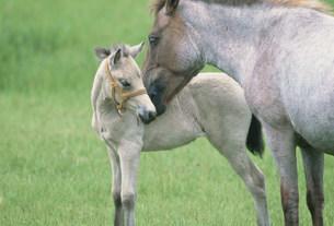 馬の親子(ドサンコ)の写真素材 [FYI03246766]