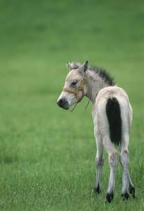 ドサンコの子馬の写真素材 [FYI03246772]