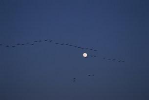 マガンと月 宮島沼の写真素材 [FYI03246774]