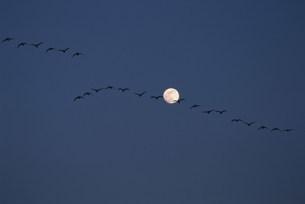 マガンと月と宮島沼の写真素材 [FYI03246778]
