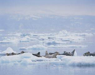 流氷上のゴマフアザラシ 羅臼沖の写真素材 [FYI03246856]