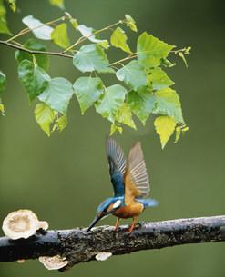 羽ばたくカワセミの写真素材 [FYI03246861]