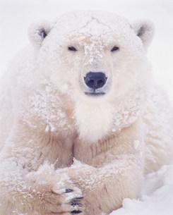 ホッキョククマの写真素材 [FYI03246863]