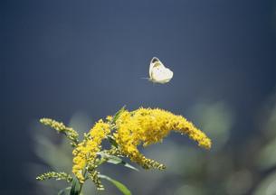 モンシロチョウと花の写真素材 [FYI03246872]