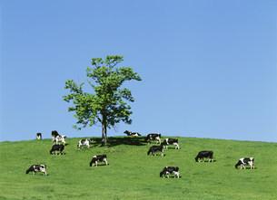 牧場の立木と牛の写真素材 [FYI03246876]