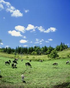 牧場の牛と雲の写真素材 [FYI03246880]