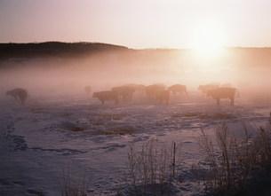 冬の牧場と牛 阿寒湖の朝の写真素材 [FYI03246883]