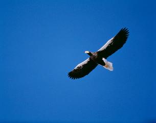 青空を飛ぶオオワシの写真素材 [FYI03246887]