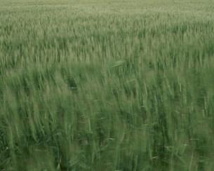 風に揺れる春蒔き小麦の写真素材 [FYI03246890]