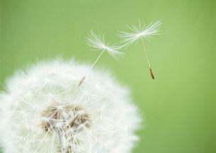 タンポポの綿毛の写真素材 [FYI03246898]