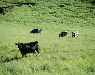 牧場の牛 900高原の写真素材 [FYI03246909]