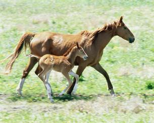 走る馬の親子の写真素材 [FYI03246924]
