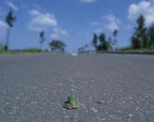 アマガエルと道の写真素材 [FYI03246928]