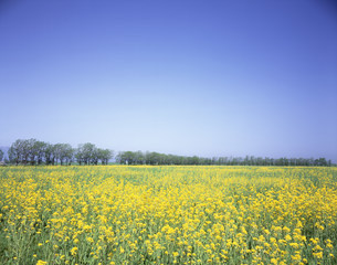 菜の花の写真素材 [FYI03246932]