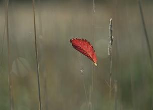 枯草と赤い葉の写真素材 [FYI03246945]