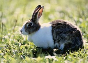 ウサギの写真素材 [FYI03246965]