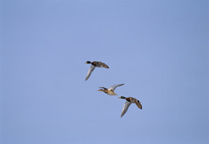 青空に飛ぶマガモ 屈斜路湖の写真素材 [FYI03246971]