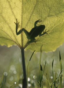 カエルとフキの写真素材 [FYI03246974]
