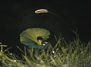 カエルとフキの写真素材 [FYI03246978]