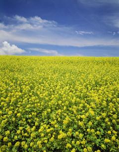 菜の花と空の写真素材 [FYI03247004]