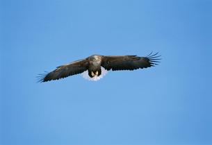 青空に飛ぶオジロワシの写真素材 [FYI03247005]