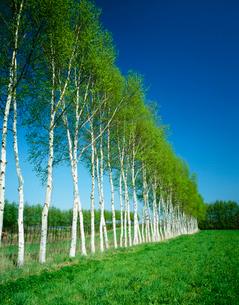 白樺並木の写真素材 [FYI03247011]
