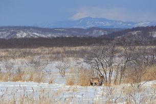 エゾシカ 釧路湿原の写真素材 [FYI03247313]