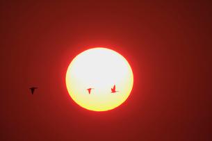 夕日とマガンの写真素材 [FYI03247412]