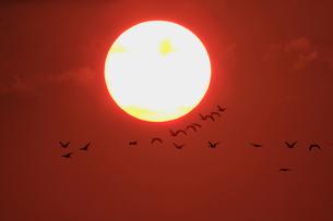 夕日とマガンの写真素材 [FYI03247414]
