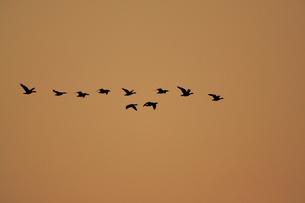 マガン夕空に飛ぶの写真素材 [FYI03247415]
