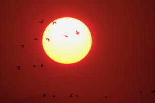 夕日とマガンの写真素材 [FYI03247416]