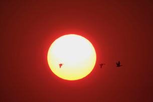夕日とマガンの写真素材 [FYI03247418]
