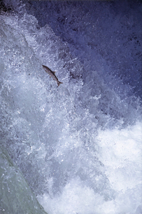 マスの滝登り サクラマス他の写真素材 [FYI03247421]