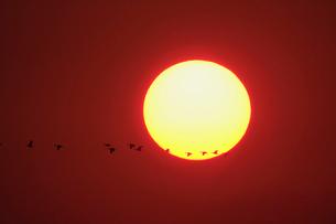 夕日とマガンの写真素材 [FYI03247424]