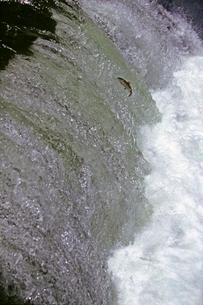 マスの滝登り サクラマス他の写真素材 [FYI03247427]