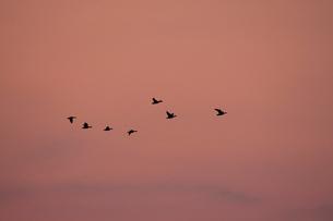 マガン夕空に飛ぶの写真素材 [FYI03247431]