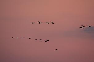 マガン夕空に飛ぶの写真素材 [FYI03247432]