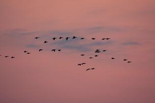 マガン夕空に飛ぶの写真素材 [FYI03247434]