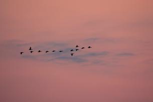 マガン夕空に飛ぶの写真素材 [FYI03247436]