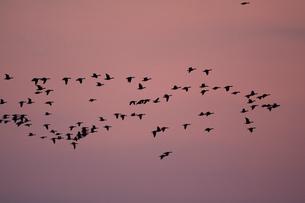マガン夕空に飛ぶの写真素材 [FYI03247437]