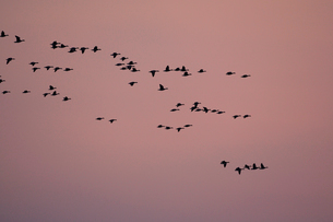 マガン夕空に飛ぶの写真素材 [FYI03247438]